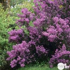 Erica mediterranea : H 30/40 cm, ctr 3 L