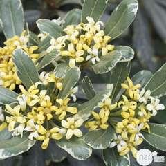 Pittosporum Tenuifolium  variegatum : 10L