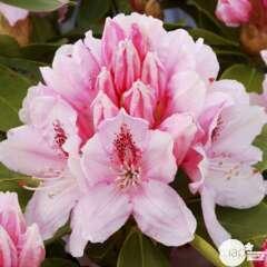 Rhododendron hybride : C.7L