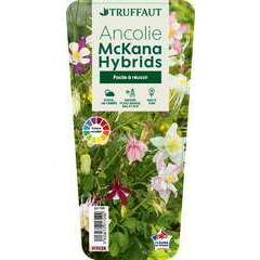 Ancolie McKana Hybrids : godet vert