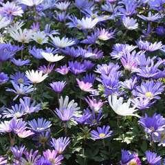 Anémone blanda bleue : godet vert