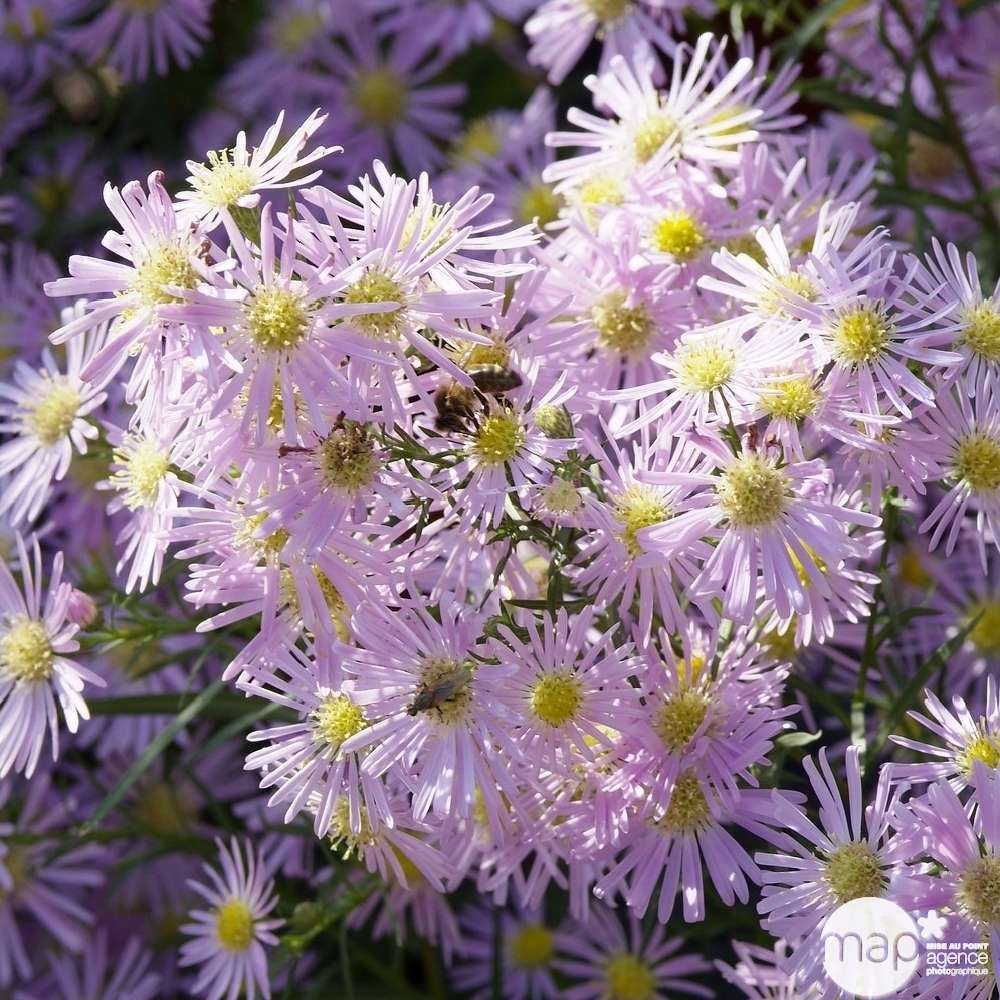graines  Aster pink Star