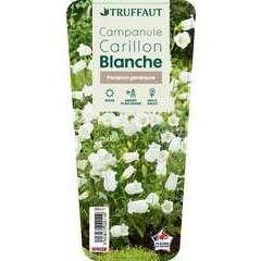 Campanule Carillon blanche : godet vert