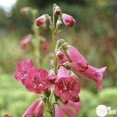 Galane Apple Blossom : godet vert