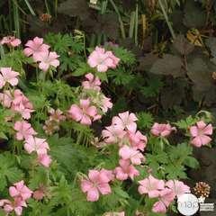 Géranium vivace Bressingham : godet rouge