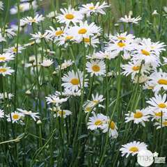 Marguerite Reine de Mai : godet vert