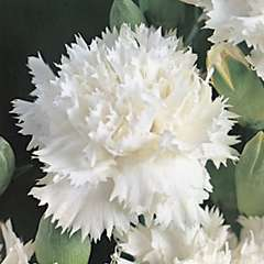 Œillet des fleuristes blanc : godet vert