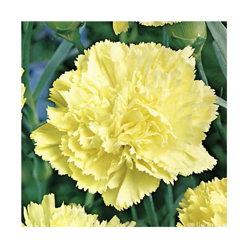 Œillet des fleuristes jaune : godet vert | Truffaut