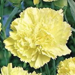 Œillet des fleuristes jaune : godet vert