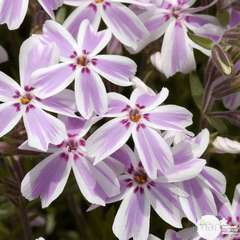Phlox nain Candy Stripes : godet vert