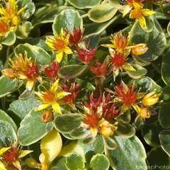 Sédum du Kamtschatka panaché : godet vert