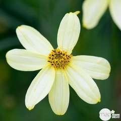 Coréopsis Moonbeam : godet vert