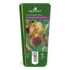 Iris des jardins Natchez Trace : godet rouge