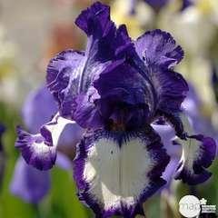 Iris des jardins Steeping Out : godet rouge