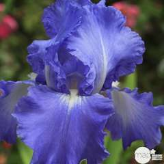 Iris des jardins Victoria Falls : godet rouge