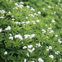 Aspérule odorante : godet vert
