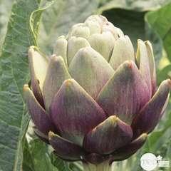 Plant d'artichaut violet de Provence : pot de 1 litre