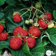 Plant de fraisier 'Ostara' : pot de 0,5 litre