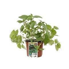 Plant de basilic Cannelle : pot de 0,8 litres