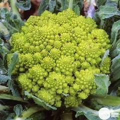 Plants de choux Romanesco 'Navona' F1 : barquette de 6 plants