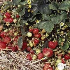 Plant de fraisier 'Rabunda' : pot de 0,5 litre