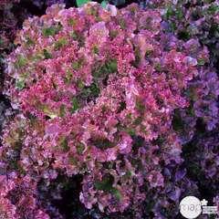 Plants de batavia 'Lollo Rossa' : barquette de 12 plants