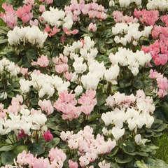 Cyclamen médium : jardinière 50 cm