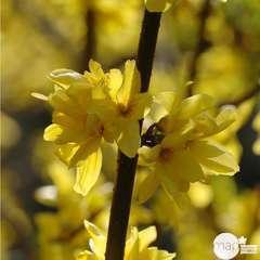 Forsythia x intermedia ' Mindor ' : touffe ctr 10 litres.