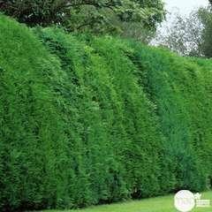Cupressocyparis Leylandii  : pot 10L (conique, vert mat)