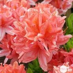 Azalea mollis : arbuste, ctr 12L, 70/80 cm