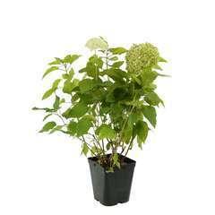 Hydrangea Arborescens annabelle : Pot 5L (fleurs blanches)