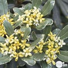 Pittosporum tenuifolium ' Variegatum ' : conteneur 4 litres