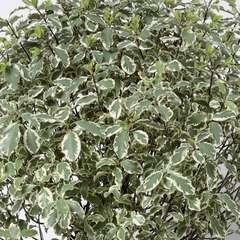 Pittosporum variegatum : ctr 20 litres