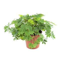 Sensitive : plante Ø6cm pot