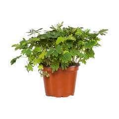 Sensitive : plante Ø9cm pot