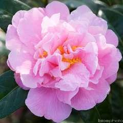 Camellia 'Eldorado' : H 40/50 cm, ctr 3 Litres
