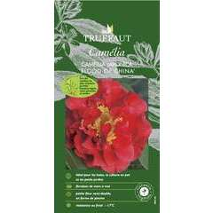 Camellia 'Blood of China' : H 340/50 cm, ctr 3 Litres