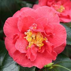 Camellia 'Blood of China' : H 60/70 cm, ctr 7 Litres