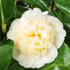 Camellia 'Brushfield's Yellow' : H 60/70 cm, ctr 7 Litres