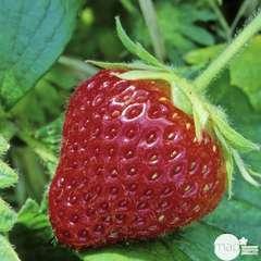 Plant de fraisier 'Cijosée' : pot de 0,5 litre