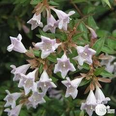 Abelia varié : C10L