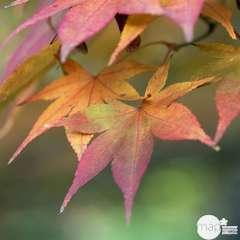 Acer palmatum : ctr 50 L