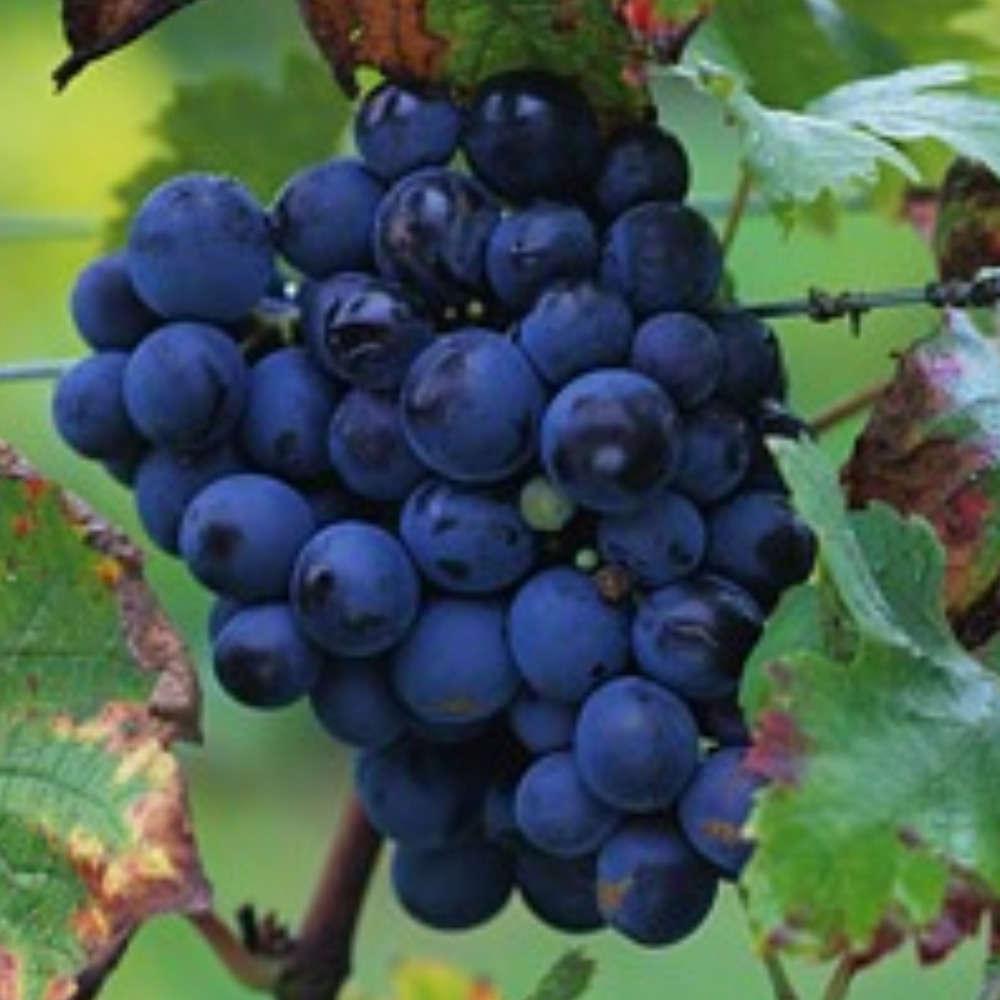 Vigne Cardinal H70 80 Pot 1 5 L Truffaut