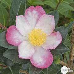 Camellia 'Rainbow' : H 40/50 cm, ctr 4 Litres