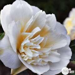 Camellia brushfields Yellow : H.40/50cm 3L