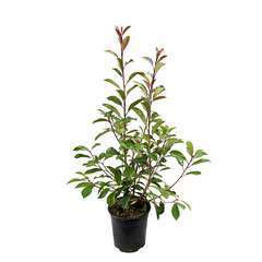 Photinia x fraseri ' Little Red Robin ' : ctr 4 litres