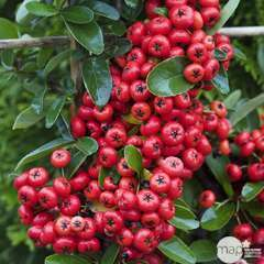 Pyracantha coccinea Saphyr Rouge ® 'Cadrou' c.o.v. : H80/100cm ctr 4L