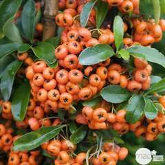 Pyracantha coccinea Saphyr Orange® 'Cadange' c.o.v.: H100/125cm ctr 7L