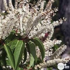 Prunus lusitanica : H 40/60 cm ctr 5 litres
