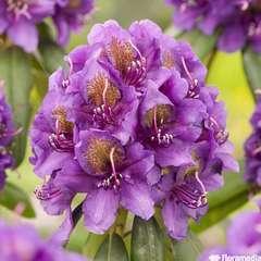 Rhododendron ponticum, H 70/80 cm : ctr 15 litres